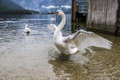 天鹅在湖 库存图片