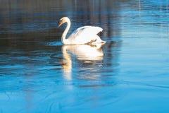 天鹅在稀薄的冰走 冬天或早期的春天 免版税图库摄影