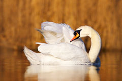 天鹅在自然栖所 疣鼻天鹅,天鹅座olor, cleanig全身羽毛在水中 在湖的鸟 眉头草在背景中 库存照片