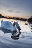 天鹅在金黄日落期间的天鹅座游泳在一个美丽的不可思议的蓝色湖在与美好的反射的晚上 免版税库存照片