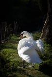 天鹅在阳光下 免版税库存照片