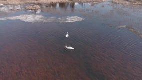 天鹅在阿拉斯加 影视素材