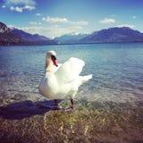 天鹅在阿讷西湖  免版税库存图片