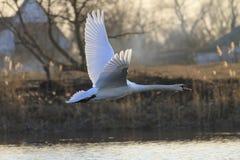 天鹅在飞行中与温暖的光 免版税图库摄影