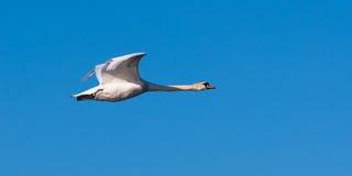 天鹅在飞行中在清楚的蓝天 免版税图库摄影