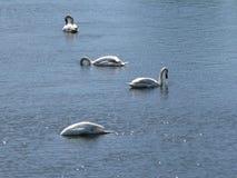 天鹅在水中的寻找食物 免版税库存图片