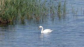 天鹅在水中的寻找食物 免版税图库摄影