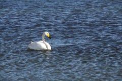 天鹅在sayram湖 图库摄影