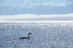 天鹅在sayram湖 库存图片