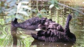 黑天鹅天鹅座atratus是一大waterbird,主要在东南部和西南养殖天鹅的种类 影视素材