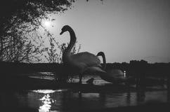 天鹅家庭由河的在晚上 图库摄影
