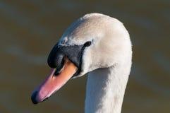天鹅座哑olor池塘天鹅 库存图片