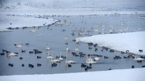 天鹅栖所在冬天 库存照片