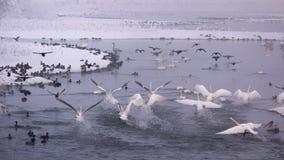 天鹅栖所在冬天 库存图片