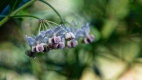 天鹅植物,黑脉金斑蝶毛虫的食用植物的花 免版税库存照片
