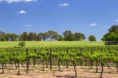 天鹅河葡萄园,西澳州 免版税库存图片