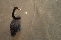 黑天鹅沿在湖入口,维多利亚,澳大利亚的一个海滩走 免版税库存图片