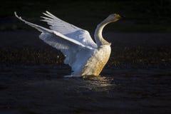 天鹅涂它的翼 免版税图库摄影