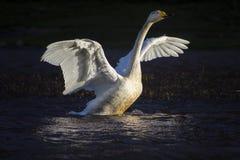 天鹅涂它的翼 图库摄影