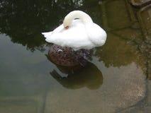 天鹅温暖它的额嘴 或者怎么? 免版税库存照片
