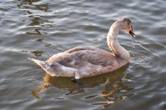 天鹅游泳在与落从它的嘴的小滴的水中 库存照片