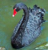 黑天鹅游泳在墨尔本 库存图片
