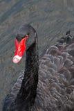 黑天鹅游泳在墨尔本 免版税库存图片
