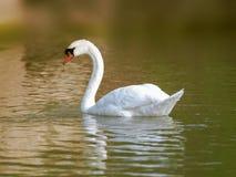 天鹅游泳在日出的湖水中 免版税库存图片