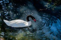 天鹅游泳在有水波纹的一个池塘 库存图片