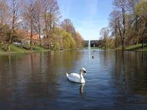天鹅游泳在池塘 免版税图库摄影