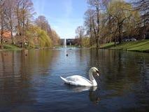 天鹅游泳在池塘 免版税库存照片