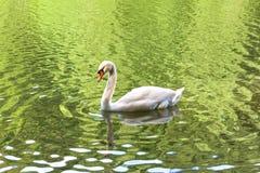 天鹅游泳在池塘 库存照片