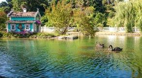 黑天鹅游泳在池塘 免版税库存图片