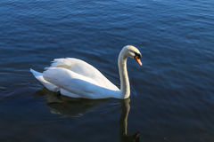 天鹅游泳在湖 免版税库存照片