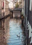 天鹅游泳在阿姆斯特丹的中心 免版税图库摄影