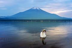 天鹅游泳在Yamanaka湖,日本 库存照片