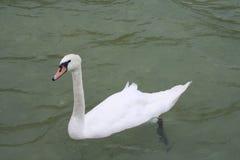 天鹅游泳 免版税库存图片