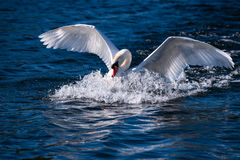 天鹅潜水到水里 图库摄影
