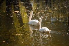 天鹅爱 在水背景的两只天鹅  免版税库存图片