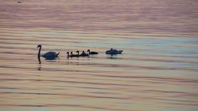 天鹅由海的家庭游泳 股票录像