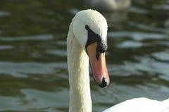天鹅画象在湖 库存图片