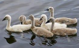 天鹅的六只小鸡一起游泳 免版税图库摄影