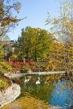 天鹅的图象在公园 免版税库存图片
