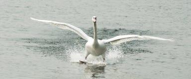 天鹅着陆在水中 库存照片