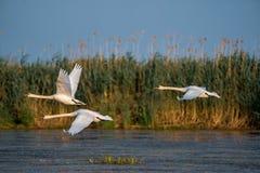 天鹅离开和在水的飞行在多瑙河三角洲 免版税图库摄影