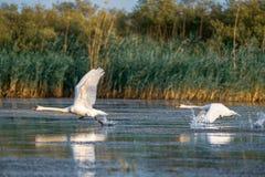 天鹅离开和在水的飞行在多瑙河三角洲 库存图片