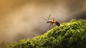 天鹅绒在青苔的蚂蚁特写镜头 库存照片