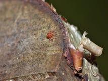 天鹅绒小蜘蛛血液吮吸者的宏观关闭在叶子,在英国拍的照片 库存图片