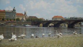 天鹅群在河伏尔塔瓦河的 影视素材