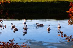 天鹅群美好的平静的场面在河的 免版税图库摄影